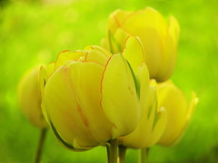 tulips (Elahe Dastgheib) Tags: red flower green yellow sweden stockholm tulip sverige 2012 tulpan elahe
