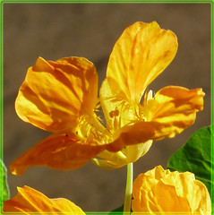 A sunny flower for a too cold, wet and grey monday. (Cajaflez) Tags: sun france flower yellow ngc npc frankrijk geel zon bloem oostindischekers saariysqualitypicturesgallery mygearandme rememberthatmomentlevel4 rememberthatmomentlevel2 rememberthatmomentlevel3