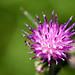 Common Knapweed, Centaurea nigra Notts WT (cpt Al Greer)
