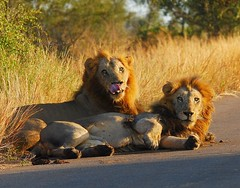 Lions at first sunlight (anacm.silva) Tags: africa wild nature sunrise southafrica mammal nikon wildlife natureza lion lions krugernationalpark leo krugerpark kruger satara mamfero frica predador vidaselvagem lees fricadosul anasilva nikond40x sataracamp