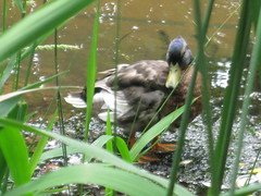 Mallard Duck (cailin.lutz) Tags: 2012 group3 lutzc zol355 poporg