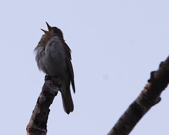 Veery 4 (mbmcclintock) Tags: aroundhome