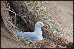 Room with a view (Jennie Stock) Tags: beach nest penguinisland silvergull chroicocephalusnovaehollandiae