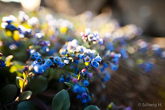 Bllilja - Mertensia maritima (*Solveig H.) Tags: blue light sunset sun flower night iceland purple north sland eyjafjrur blm hjalteyri fallegt norurland fjrur