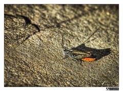 Mimetizado (oZopanda - David Cvico) Tags: macro nature canon 60mm bichos hdr saltamontes 550d flickrstruereflection1
