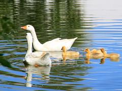 Ganzen_DeVaart_IMG_0729 (Kristel Van Loock) Tags: leuven reflections geese goose ganzen riflessi riflesso oche oies reflecties devaart