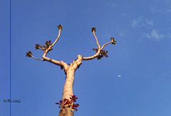 March 13th (NoBi CooL) Tags: blue sky moon tree crescent twinbranches