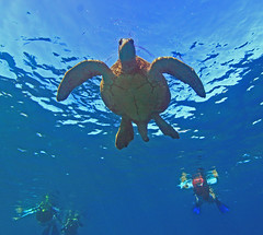 look but don't touch (bluewavechris) Tags: ocean life blue sea brown green tourism nature water animal swim canon hawaii marine underwater snorkel turtle reptile wildlife dive shell maui tourist endangered creature flipper 1022 sustainability ecotourism endangeredspecies freedive sustainablegrowth seaseahousing t1i