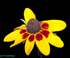Yellow and black (SHARKBAYTE) Tags: flowers summer plants nature flora handheld asteraceae nyip rudbeckiahirta gloriosadaisy