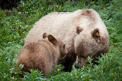 Come to Mama (Harvey Roberts images) Tags: animals bears wildanimals grizzlybears canadianrockymountains blondegrizzlys