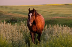 Burnished - Norton in the Golden Hour (C-Dals) Tags: horse nikon morgan nikkor goldenhour r24 70300mmf4556gvr d5100 getpushed