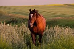 Burnished - Norton in the Golden Hour (C-Dals) Tags: horse nikon morgan nikkor goldenhour r24 70300mmf4556gvr d5100 getpushed