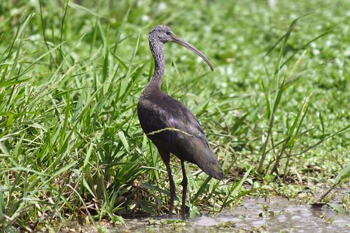 Corocoro Castaño (Glossy Ibis / <i>Plegadis falcinellus</i>)