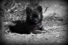 (kristi_Nikon_D1X) Tags: bear dog cute puppy pomeranian selectivecolor