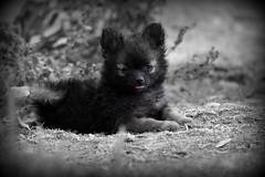 (kristi_Nikon_D1X) Tags: bear dog cute puppy pomeranian selectivecolor