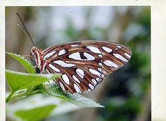 img698 Their Is Beauty In A Butterfly Wings (thomas390) Tags: world nature butterfly photography spirit wide papillon national unlimited sanctuary geographic editions } kelebek of naturethroughthelens