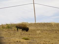 Another Catalina Free Roaming Bison (Pak T) Tags: california catalina buffalo bison zuiko omzuiko135mmf28