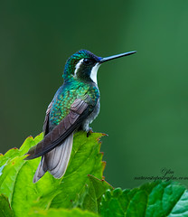Hummingbirs-On-LeafA Moment To Rest (Judylynn M.) Tags: spectacularanimals