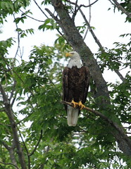 Bald Eagle (harve64 (gone to Ipernity)) Tags: white lake minnesota point eagle earth many bald