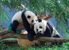 A mother's love... (knoxnc) Tags: beibeimalecub playful nikon nature logs ball pandas d7200 playing grasses morning summer meifemalecub biting animals trees blackandwhite washingtondczoo momandcub alittlebeauty coth5 sunrays5