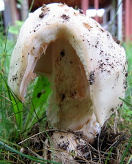 Split (diffuse) Tags: plant fungus mushroom backyard white bumpy warts broken split