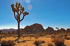 Joshua Tree (Wonder Woman !) Tags: joshuatree nationalpark california stateofcalifornia usa desert mojave colorado cottonwoodmountains sanbernadinomountains hexiemountains pintomountains
