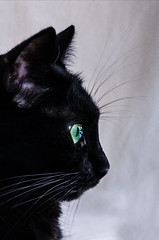 17th (elenaiacopelli) Tags: cute cat black green eyes fluffy adorable sweet profile nose whiskers caf neko