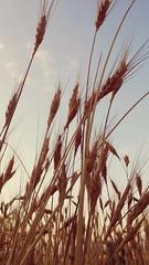 Şahman buğday