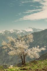 Homenaje a la vida (Sentir es Existir) Tags: flores andes cordillera primavera primer plano arbol silueta zuiko 50mm