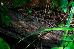 Lucertola (Fabrizio Colucci) Tags: lucertola nature reptile tronco bosco green verde rettile colours mimetismo mimetism pelle skin muta light ombra