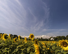 Pope Farm Sunflowers (In Wonder Photo) Tags: sunflowers rural rustic wisconsin middleton nikon d750 landscape flowers