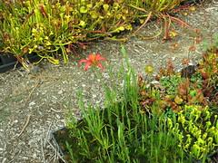 Lilium catesbaei Southern Baldwin Co, AL (meizzwang) Tags: liliumcatesbaeisouthernbaldwinco alpinelilycountyincultivationliliaceae carnivorous plant companion bog