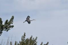 Great Blue Heron - Ardea herodias (jessica.rohrbacher) Tags: heron great blue ardea herodias bird avian ardeidae calgary alberta canada