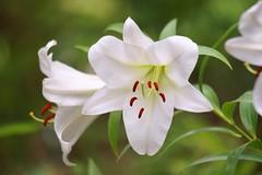 / Lilium alexandrae (nobuflickr) Tags: 20160702dsc03884  liliumalexandrae  japan flower kyoto thekyotobotanicalgarden nature    awesomeblossoms