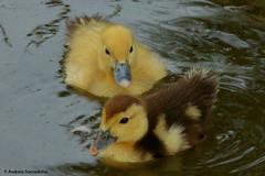 Patinhos (AndreiaFMS) Tags: animais animal animals animalia pato patos duck ducks little baby pequeno amarelo yellow bico andreiasarnadinha alentejo portugal redondo panasonic lumix