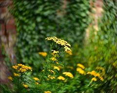 Tansy Twist (Nanny Bean) Tags: museumgardens york yellowthings tansy
