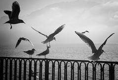 Seagulls in Vevey, Switzerland (` Toshio ') Tags: toshio seagull birds nature switzerland europe vevey rail water lake lakegeneva lacleman fujixe2 xe2