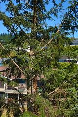 Canon EOS 5D Mark III - IMGL5644 (rogerbtree) Tags: tree pruning trees arborist view service views chainsaws shoreline wa innis arden barnett care arboriculture