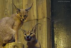 P1040511 (LaBonVampire) Tags: caracal animals nature leica leicalenses lumix