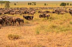 PWS_6869 (paulshaffner) Tags: dorobo safaris dorobosafaris serengeti safari studyabroad education abroad tanzania penn state pennstate biology pennstatebiology