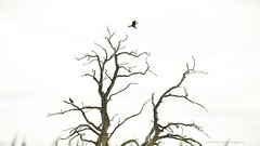 _C0A2236REWS Landing I,  Jon Perry, 22-8-16 zav (Jon Perry - Enlightenshade) Tags: jonperry enlightenshade arranginglightcom 22816 20160822 cormorants silhouettes tree bird rutlandwaterreservoir lyndonvisitorcentre rutland