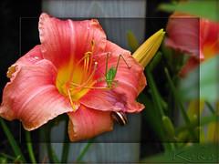 Garden Smrgsbord, plenty for everyone! (Koko Nut, it's all about the frame) Tags: katydid snail daylily flower bud bug garden summer closeup peach pink framedflower framed koko kokonut wonder