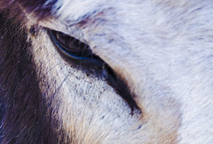 Donkey Eye (takeruyamato44) Tags: mules eyes animals