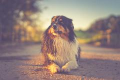 Grumpy Soulmate (Bokehschtig (OFF)) Tags: aussie australianshepherd dog bokeh lowpov pov hund soulmate friend sun sunlight sunset sundown eyes grumpy sony a7 sonya7 sonyalpha sonyalpha7 samyang samyangaf5014fe 50mm f14