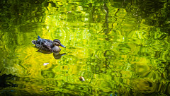 (DoruDV) Tags: duck mothernature fieldofview fov fineartphotography macro amazingcaptures photooftheday d3200 nikond3200 nikonphotography nikon nikkor1855mm excellentnature sun romania yellow professional depth field texture animal
