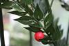 Ruscus aculeatus, Stechender Mäusedorn (julia_HalleFotoFan) Tags: ruscusaculeatus stechendermäusedorn botanischergartenhalle dornen stacheln spargelgewächs asparagaceae dornmyrte stacheligermäusedorn
