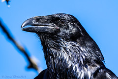 Common Raven (Corvus corax) (danielusescanon) Tags: alaska commonraven corvuscorax wild bird birdperfect animalplanet