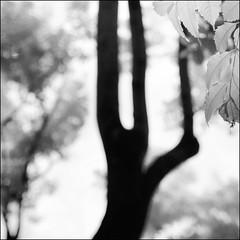 F_DSC6424-BW-1-IR Photography-Nikon D90-Nikkor 16-85mm-May Lee  (May-margy) Tags:  bw      maymargy         taiwan repofchina fdsc6424bw1 irphotography treetrunk leaves blur bokeh linesformandlightandshadows mylensandmyimagination naturalcoincidencethrumylens taipeicity nikond90 nikkor1685mm maylee