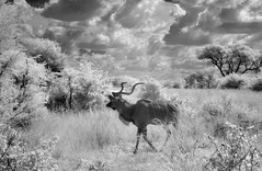 Greater Kudu in Infrared (zenseas : )) Tags: greaterkudu wild roadside kudu caprivistrip selfdrive driving selfdrivesafari safari bwabwatanationalpark namibia africa holiday vacation ir infrared digitalinfrared monochrome bw blackandwhite mahangogamereserve tragelaphusstrepsiceros