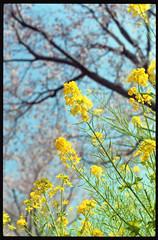 Canola Flower and Sakura 2016 (Shizuho (41style)) Tags: 2016 flower sakura   aria 35mm